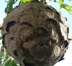 écailles sur le nid de frelon asiatique