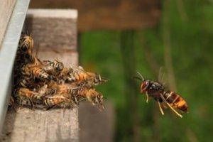 Image d'un frelon asiatique devant une ruche